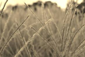 Ornamental Grass In Sepia